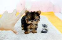 yorkshire terrier toy teacup
