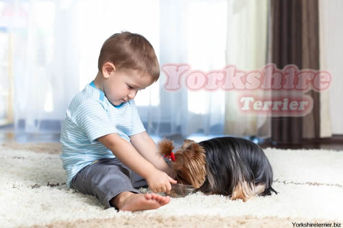 niño pequeño con cachorro de yorkshire terrier