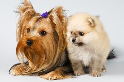 yorkshire terrier estandar con lulu