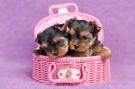 Dos cachorros de yorkshire terrier