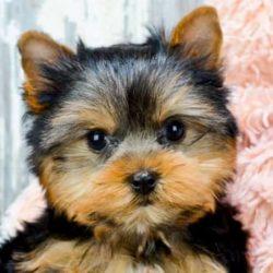 cachorro de yorkshire terrier
