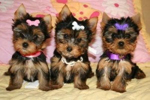 tres cachorros de yorkshire terrier