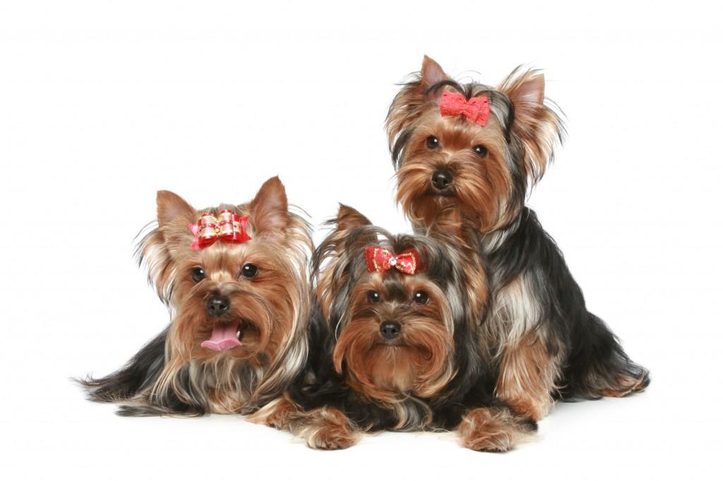 tres yorkshire terrier