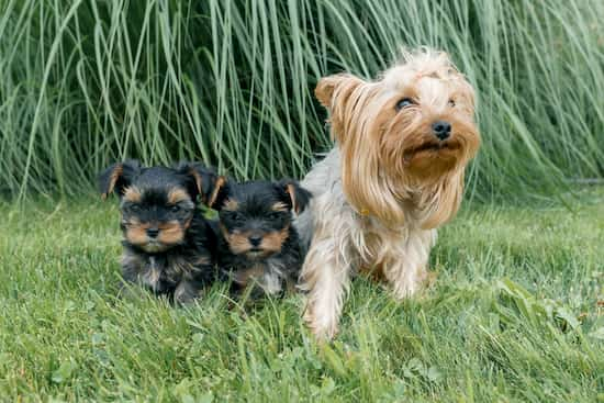 hembra yorkshire con sus cachorros