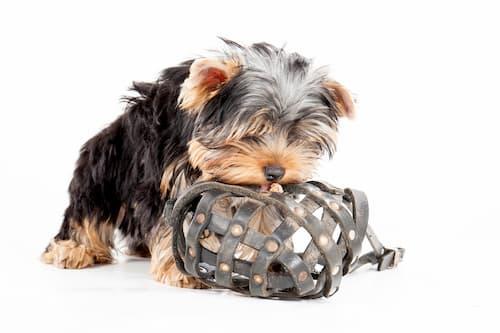 precio de un yorkshire terrier