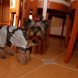 yorkshire terrier adiestrado